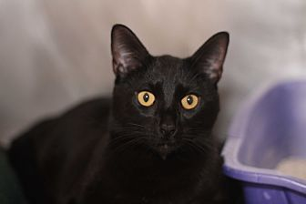 Domestic Shorthair Cat for adoption in El Cajon, California - Magic Mike