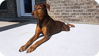 Doberman Pinscher Dog for adoption in Fort Worth, Texas - Aly