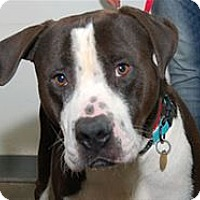 Pit Bull Terrier/Mastiff Mix Dog for adoption in Mountain Home, Arkansas - Oscar