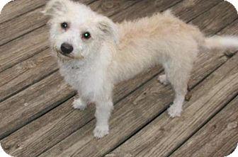 Poodle (Miniature) Mix Dog for adoption in Rocky Mount, North Carolina - Payton