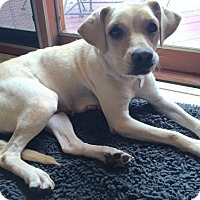 Labrador Retriever Mix Dog for adoption in Grafton, Wisconsin - Nidorina