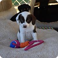 Adopt A Pet :: Cagney - Groton, MA