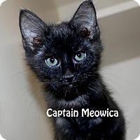 Domestic Shorthair Kitten for adoption in Idaho Falls, Idaho - Captain Meowica
