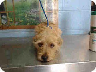Cairn Terrier/Terrier (Unknown Type, Small) Mix Dog for adoption in San Bernardino, California - URGENT ON 10/6  San Bernardino