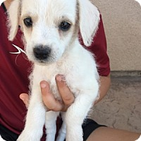 Adopt A Pet :: Dakota - Temecula, CA