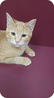 Domestic Shorthair Cat for adoption in Muscatine, Iowa - Scotcheroo