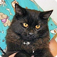 Domestic Mediumhair Kitten for adoption in Wildomar, California - Kismet