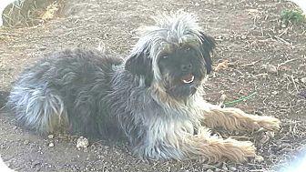 Lhasa Apso Mix Dog for adoption in Crosbyton, Texas - Bernaldo