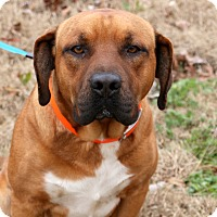 Boxer/Shepherd (Unknown Type) Mix Dog for adoption in Glastonbury, Connecticut - Bruce