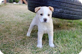 Retriever (Unknown Type) Mix Puppy for adoption in San Antonio, Texas - Tempie