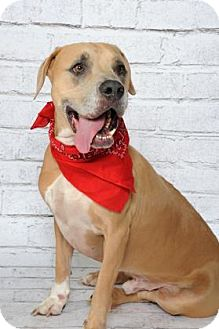 Labrador Retriever Mix Dog for adoption in Titusville, Florida - Tanner