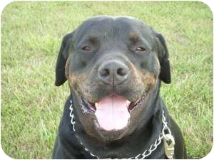 English Mastiff Rottweiler Mix Mastiff/rottweiler mix dog for