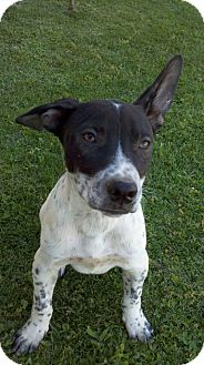 Australian Cattle Dog/Border Collie Mix Puppy for adoption in Bakersfield, California - Kyle