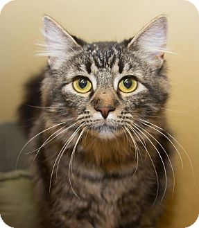 Maine Coon Cat for adoption in Irvine, California - Cosette