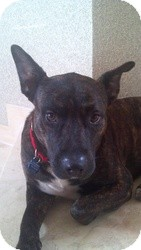 Pit Bull Terrier Mix Dog for adoption in Coral Springs, Florida - Rocky