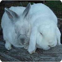 Adopt A Pet :: Snowball - Santee, CA