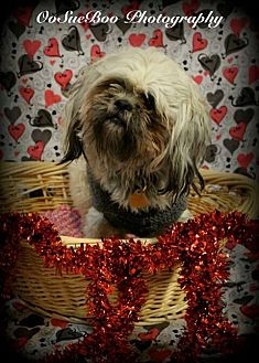 Shih Tzu Mix Dog for adoption in Detroit, Michigan - Toby *Special Needs*