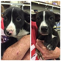 Border Collie/Pit Bull Terrier Mix Dog for adoption in Fresno, California - Barney
