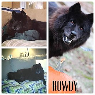 Chow Chow Dog for adoption in Dix Hills, New York - Rowdy