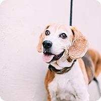 Adopt A Pet :: Sir Barkston - Claremont - Chino Hills, CA