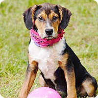 Adopt A Pet :: Annie 1-pending adoption - Manchester, CT
