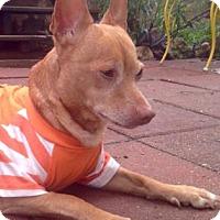Adopt A Pet :: Rusty Red - Austin, TX