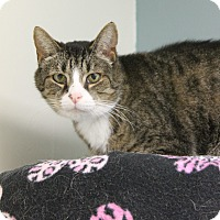 Domestic Shorthair Cat for adoption in Medina, Ohio - Nolan