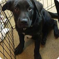 Adopt A Pet :: Aries - Mesa, AZ