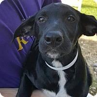 Adopt A Pet :: B'Gosh~meet me!~ - Glastonbury, CT