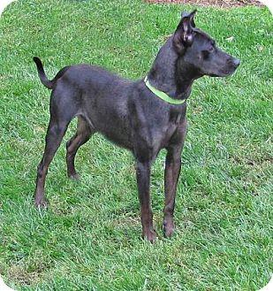 Miniature Pinscher Mix Dog for adoption in Woodstock, Illinois - Grayson