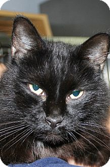 Domestic Mediumhair Cat for adoption in Hilton Head, South Carolina - Matches