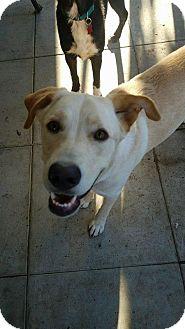 Labrador Retriever Dog for adoption in San Diego, California - Luna