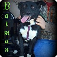Adopt A Pet :: Batman - Denver, NC