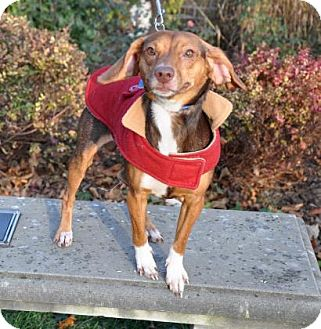Dachshund Mix Dog for adoption in Northbrook, Illinois - Vader