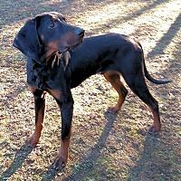 Adopt A Pet :: Bow Tie - Atlanta, GA
