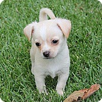Adopt A Pet :: Brady - La Habra Heights, CA