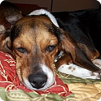 Adopt A Pet :: Emily - Novi, MI