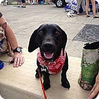 Adopt A Pet :: Indie - Hilliard, OH
