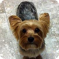 Adopt A Pet :: Yoda - Yakima, WA