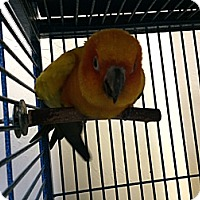Adopt A Pet :: Kiki - Punta Gorda, FL
