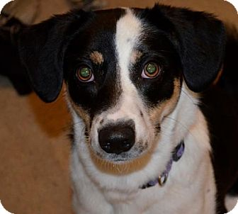 Border Collie Mix Dog for adoption in Raleigh, North Carolina - Eva
