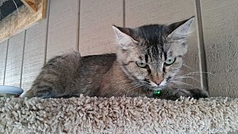 Domestic Mediumhair Cat for adoption in Madera, California - Tapanga