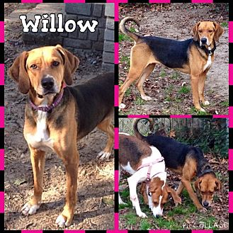 Treeing Walker Coonhound/Beagle Mix Dog for adoption in Shaw AFB, South Carolina - Willow