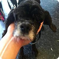 Cocker Spaniel Dog for adoption in Flushing, New York - Mia