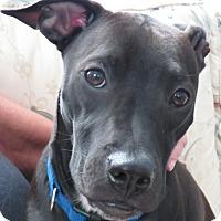 Adopt A Pet :: Miss Kitty!  Perfect! - St Petersburg, FL