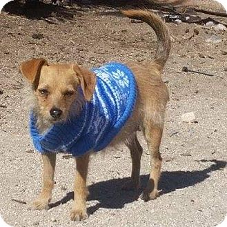 Terrier (Unknown Type, Small) Mix Dog for adoption in Henderson, Nevada - Gillian