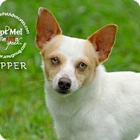 Adopt A Pet :: Chipper - Pearland, TX