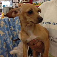 Chihuahua/Dachshund Mix Puppy for adoption in Inverness, Florida - Mariah