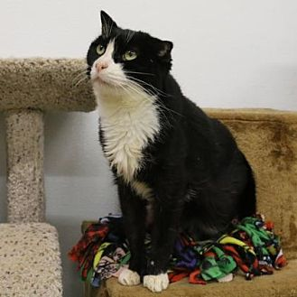 Domestic Shorthair Cat for adoption in Morgan Hill, California - Dorthy