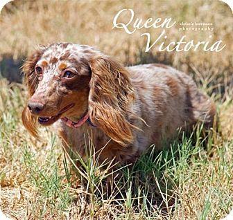 Dachshund Dog for adoption in San Antonio, Texas - Queen Victoria +